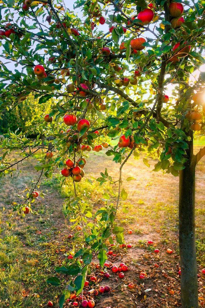 apple tree, apple, light
