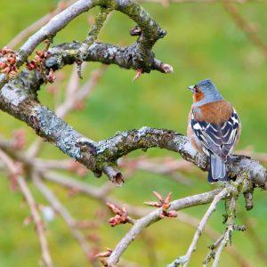 bird, chaffinch, wildlife-1332881.jpg